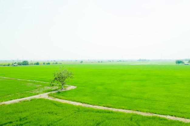 Vista aerea dal drone volante di riso di campo con sfondo di natura modello paesaggio verde, riso campo vista dall'alto