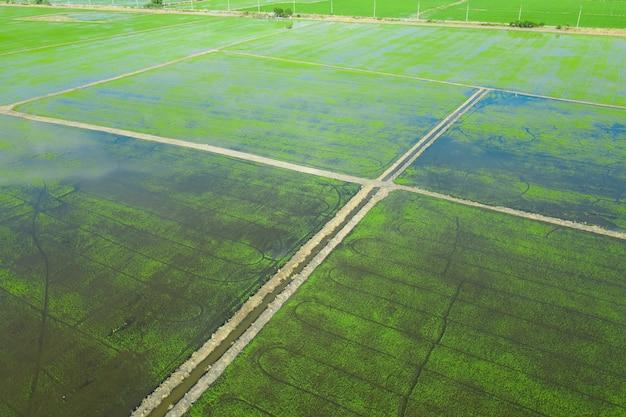 Vista aerea dal drone volante di campo di riso con natura modello paesaggio verde