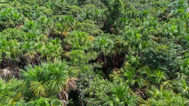 Vista aerea della palma buriti nativa nel mezzo della foresta pluviale amazzonica. buritizzazione.