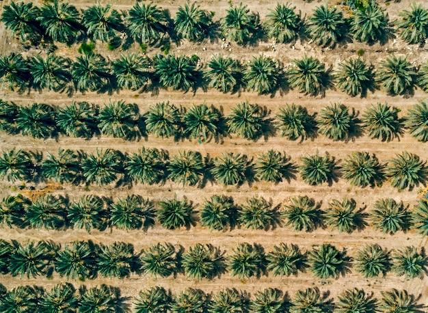 Vista aerea sulla piantagione di palme sullo sfondo. filari di palme piantate da qualche parte nel medio oriente. lavori agricoli. carta da parati con palme verdi in crescita riprese dall'alto. ordinatezza delle piante.