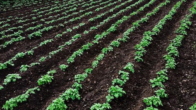 Vista aerea sull'azienda agricola di patate con file di piante di patate verdi.