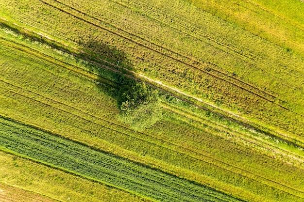 Vista aerea di un singolo albero che cresce solitario su campi agricoli verdi in primavera con vegetazione fresca dopo la stagione di semina in una calda giornata di sole.