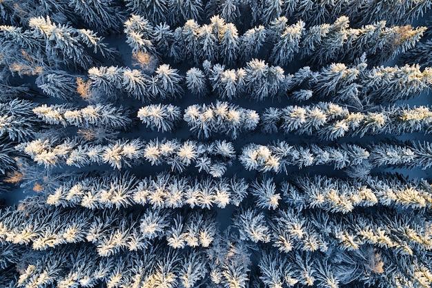 Vista aerea delle piantagioni di foreste di conifere innevate