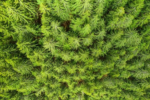 Vista aerea della cima del fondo dell'albero della pelliccia verde dei pini
