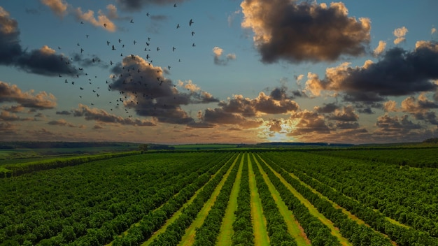 Vedute aeree sopra i filari di aranci in piantagione nel tramonto.