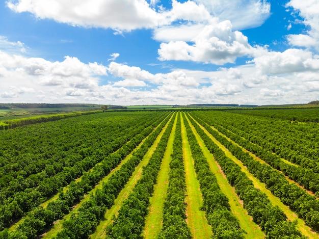 Vedute aeree sopra i filari di aranci in piantagione.