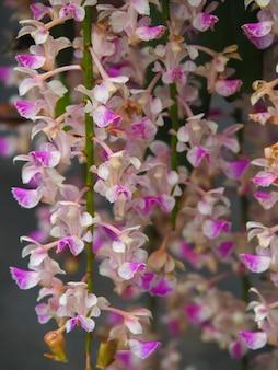 Aerides falcata fiore di orchidea Foto Premium