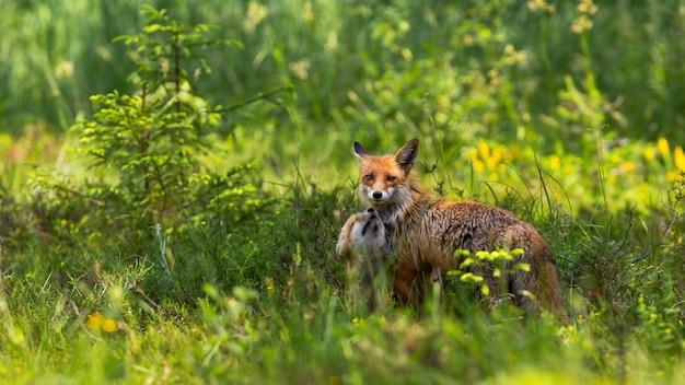 Cucciolo di volpe rossa affettuoso che rannicchia alla madre sul prato verde all'alba