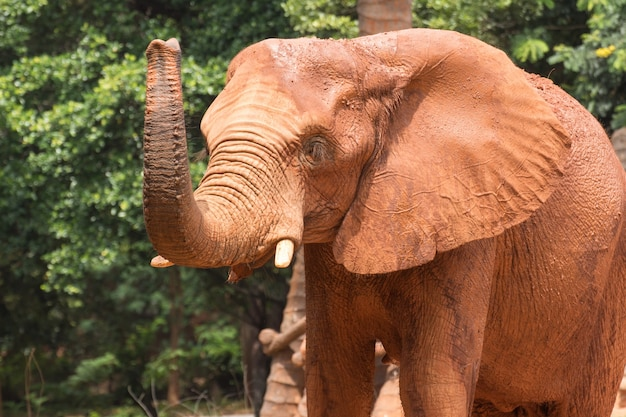 Corpo rivestito di elefante africano con fango rosso per prevenire la luce solare del corpo e della pelle.