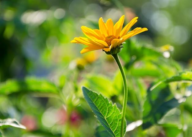 Margherita cespuglio africano su un cespuglio in piena fioritura