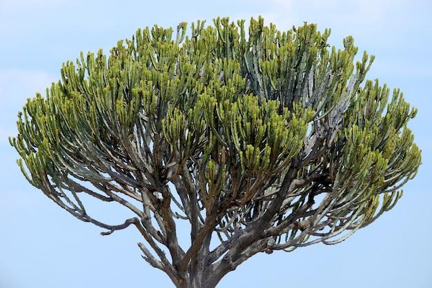 Albero di cactus africano nel parco nazionale del kenya