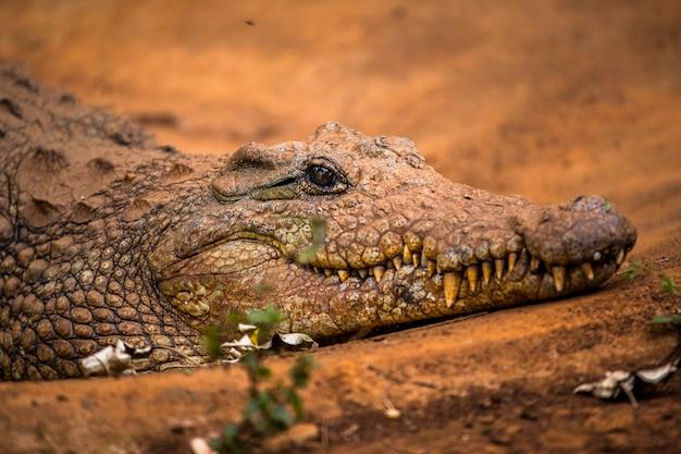 Un coccodrillo africano che cammina. visita all'importante orfanotrofio di nairobi di animali non protetti o feriti. kenya