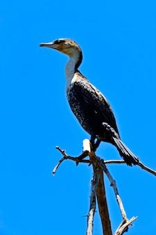 Il darter africano si è appollaiato sul ramo in acqua con la riflessione. sud africa