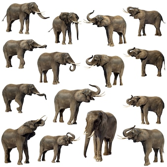 Elefante africano isolato