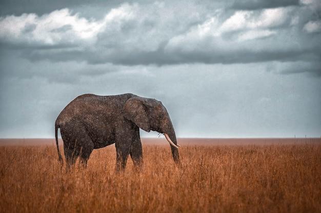Elefante africano sotto la pioggia
