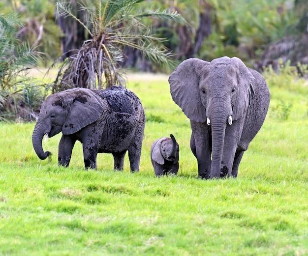 Elefanti africani nel parco nazionale di amboseli. kenya