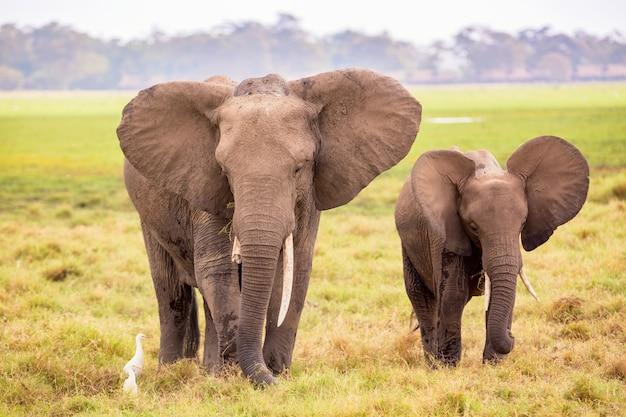 Elefanti africani nel parco nazionale di amboseli