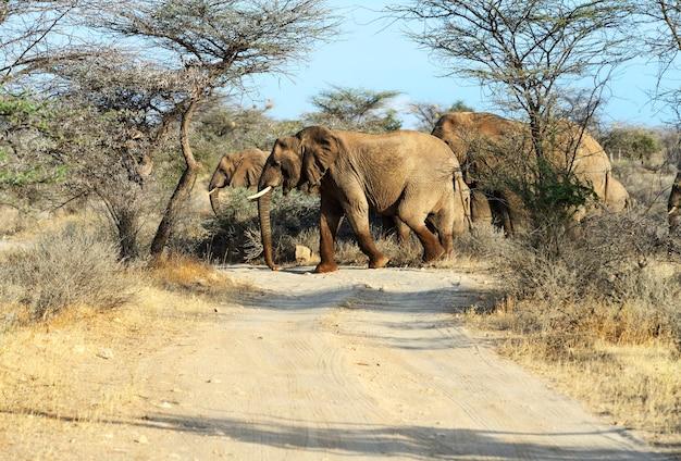 Elefanti africani nel loro habitat naturale. kenya. africa.