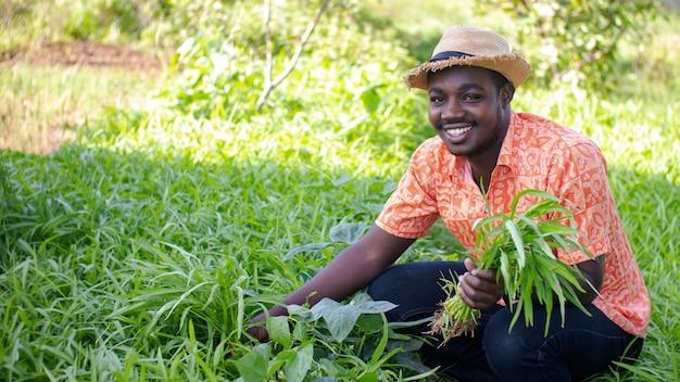L'agricoltore africano con il cappello sta raccogliendo la verdura fresca nel campo della piantagione organica. concetto di agricoltura o coltivazione
