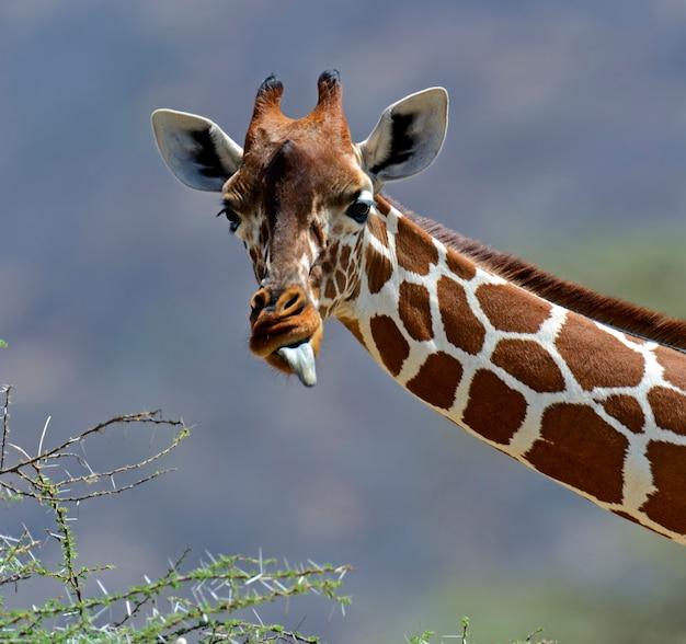 Giraffe africane nel parco nazionale di samburu. kenya