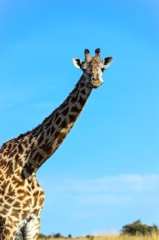 Giraffe africane nella savana masai mara park