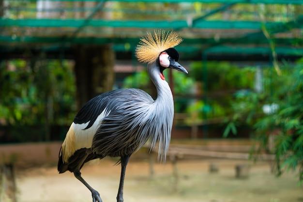 Uccello della gru coronata grigio africano