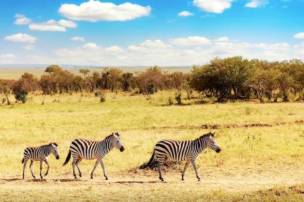Paesaggio africano. zebra nella savana africana nel parco nazionale di masai mara. kenia, africa.