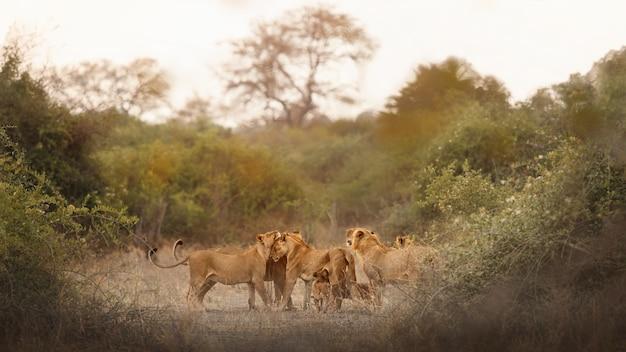 Ritratto di leone africano nella luce calda