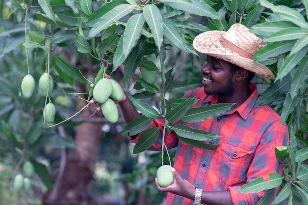 L'agricoltore africano sta raccogliendo il frutto del mango in una fattoria biologica con un sorriso e felice. concetto di agricoltura o coltivazione