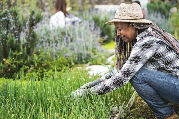 Donna senior africana che prepara le piantine in una scatola con il terreno all'interno dell'azienda agricola delle verdure - concetto sano dell'alimento - fuoco principale sul fronte