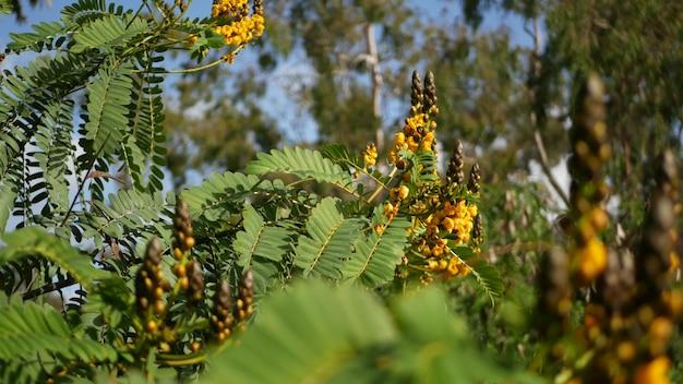 Fiore africano della senna, flora della california usa. fioritura gialla nel giardino primaverile. pianta del candeliere