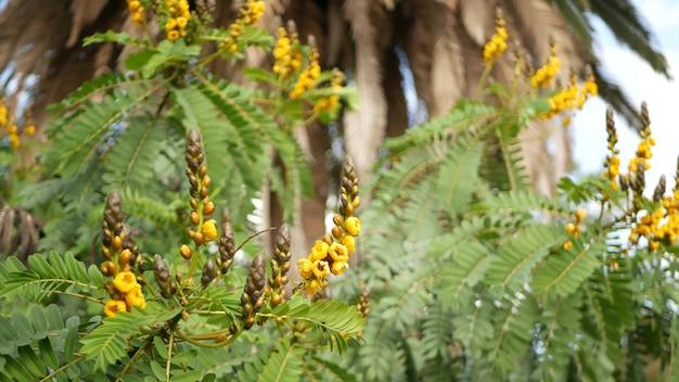 Fiore di senna africana, giardinaggio in california, stati uniti d'america. primo piano botanico naturale sullo sfondo. fioritura gialla nel giardino del mattino di primavera, flora fresca di primavera in soft focus. pianta succosa del candeliere.
