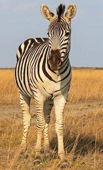 Zebra africana bellissimo animale in piedi sulla steppa, paesaggio autunnale.