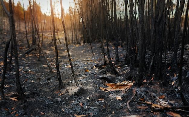 Dopo incendi con polvere e ceneri / area di deforestazione illegale. riscaldamento globale / concetto di ecologia