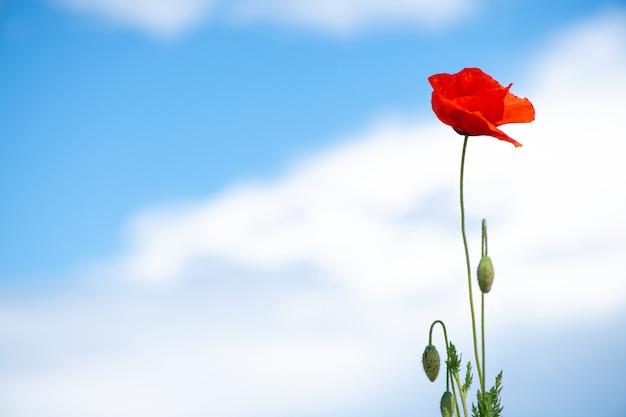 Contro il cielo blu con nuvole bianche c'è un solitario fiore rosso papavero sul lato destro ñ spazio aperto sul lato sinistro posizione orizzontale