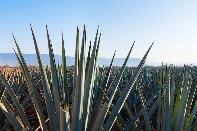 Pianta di tequila di agave nei campi di jalisco