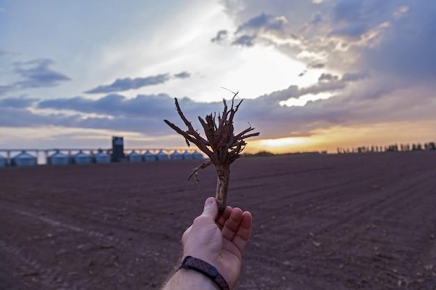 Agronom tiene in mano la radice della pianta nel campo contro il tramonto