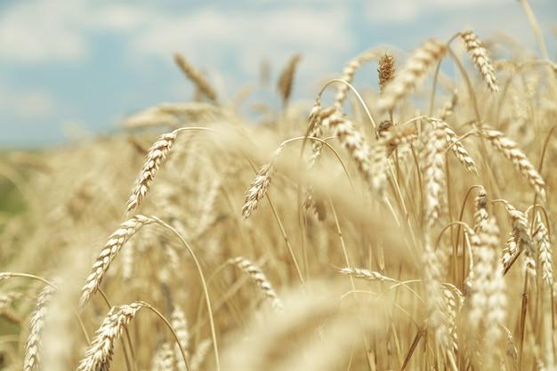 Sfondo agricolo. spighette dorate mature di grano nel campo