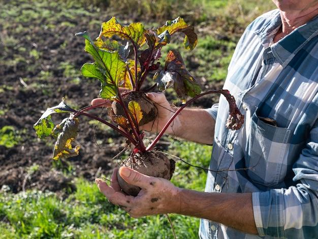 Concetto agricolo. coltivatore che tiene radice di barbabietola fresca. raccolta di verdure biologiche
