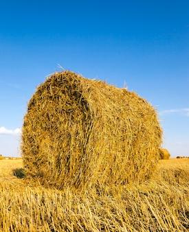 Campo agricolo - un campo agricolo su cui cresce anche il grano raccolto