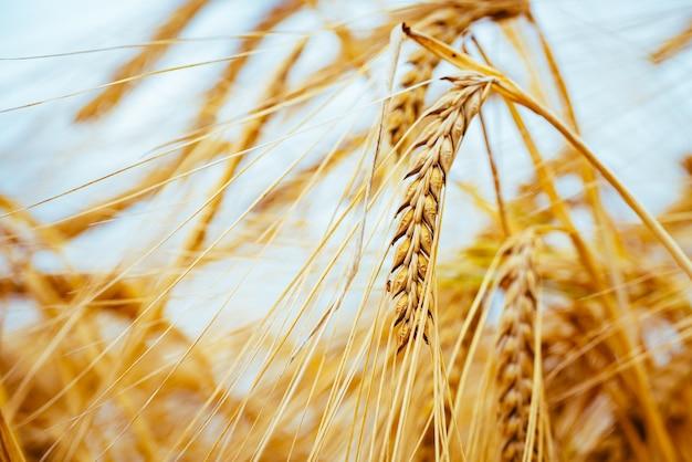 Campo agricolo. spighe d'orzo mature. il concetto di un ricco raccolto.