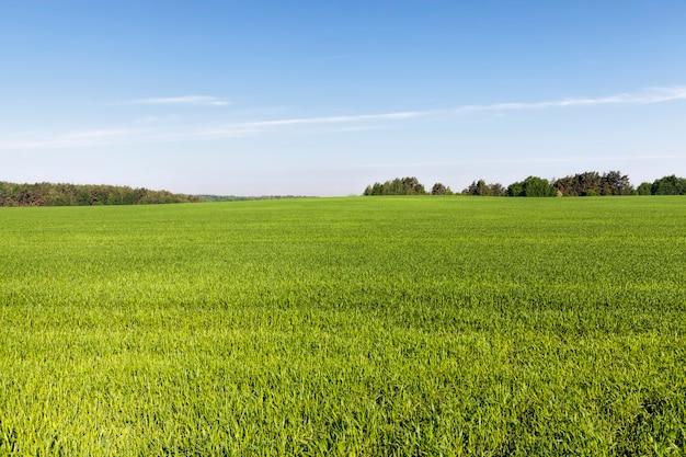 Campo agricolo seminato con cereali non maturi, un gran numero di piante per la raccolta del grano o altri cereali