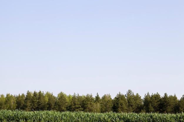 Campo agricolo seminato con mais dolce, stagione estiva con un campo con piante di mais acerbo, agricoltura per la produzione alimentare