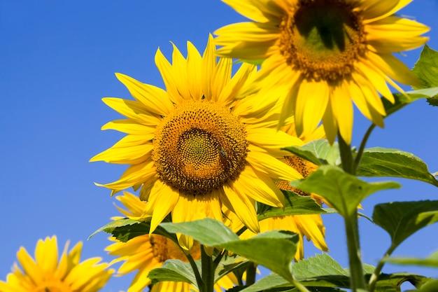 Un campo agricolo dove i girasoli annuali sono coltivati industrialmente, girasoli gialli luminosi dei fiori durante l'impollinazione, primo piano