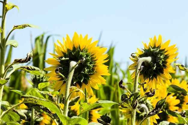 Un campo agricolo dove i girasoli annuali vengono coltivati industrialmente, girasoli con fiori gialli brillanti durante l'impollinazione