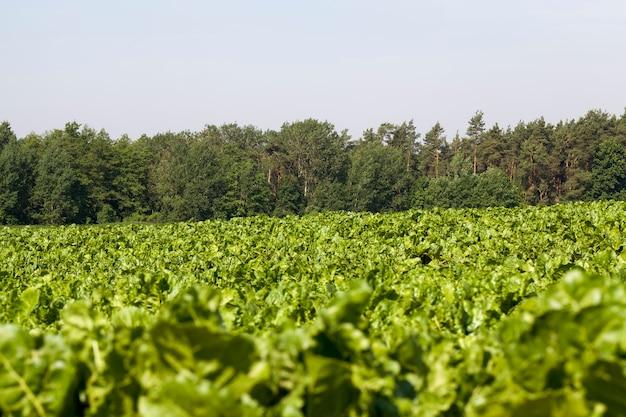 Campo agricolo in cui vengono coltivate varietà di barbabietole da riproduzione su terreni fertili