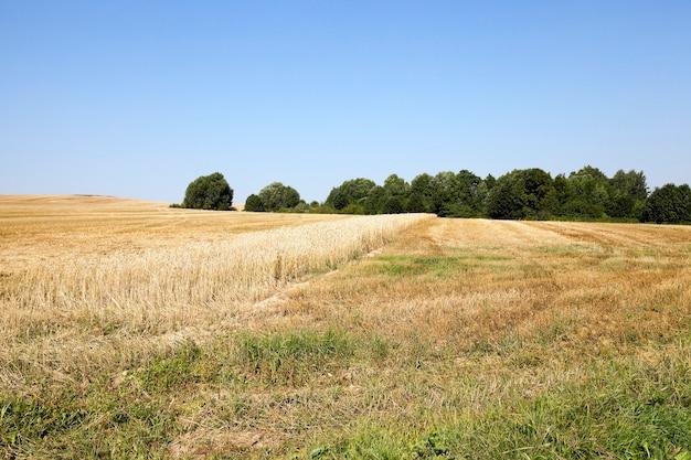 Campo agricolo in cui la raccolta dei cereali è rimasta striscia di grano non raccolto