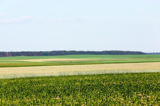 Un campo agricolo dove si coltivano i cereali