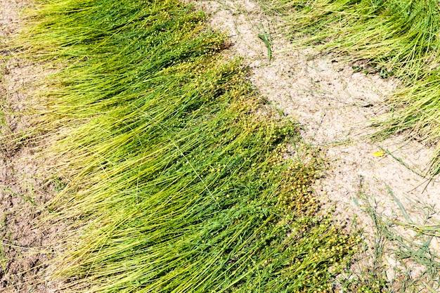 Un campo agricolo dove si coltiva il lino