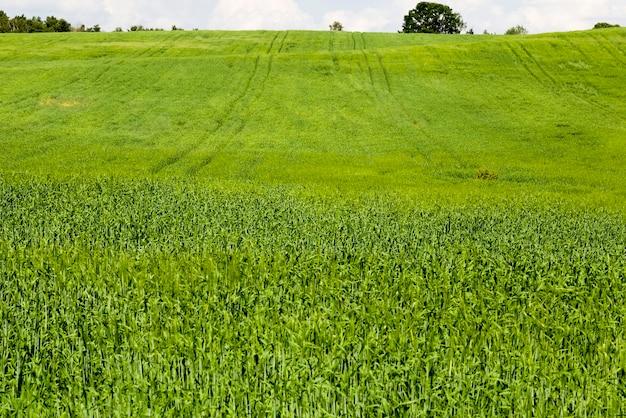 Campo agricolo dove cresce il grano verde, agricoltura per ottenere raccolti di grano